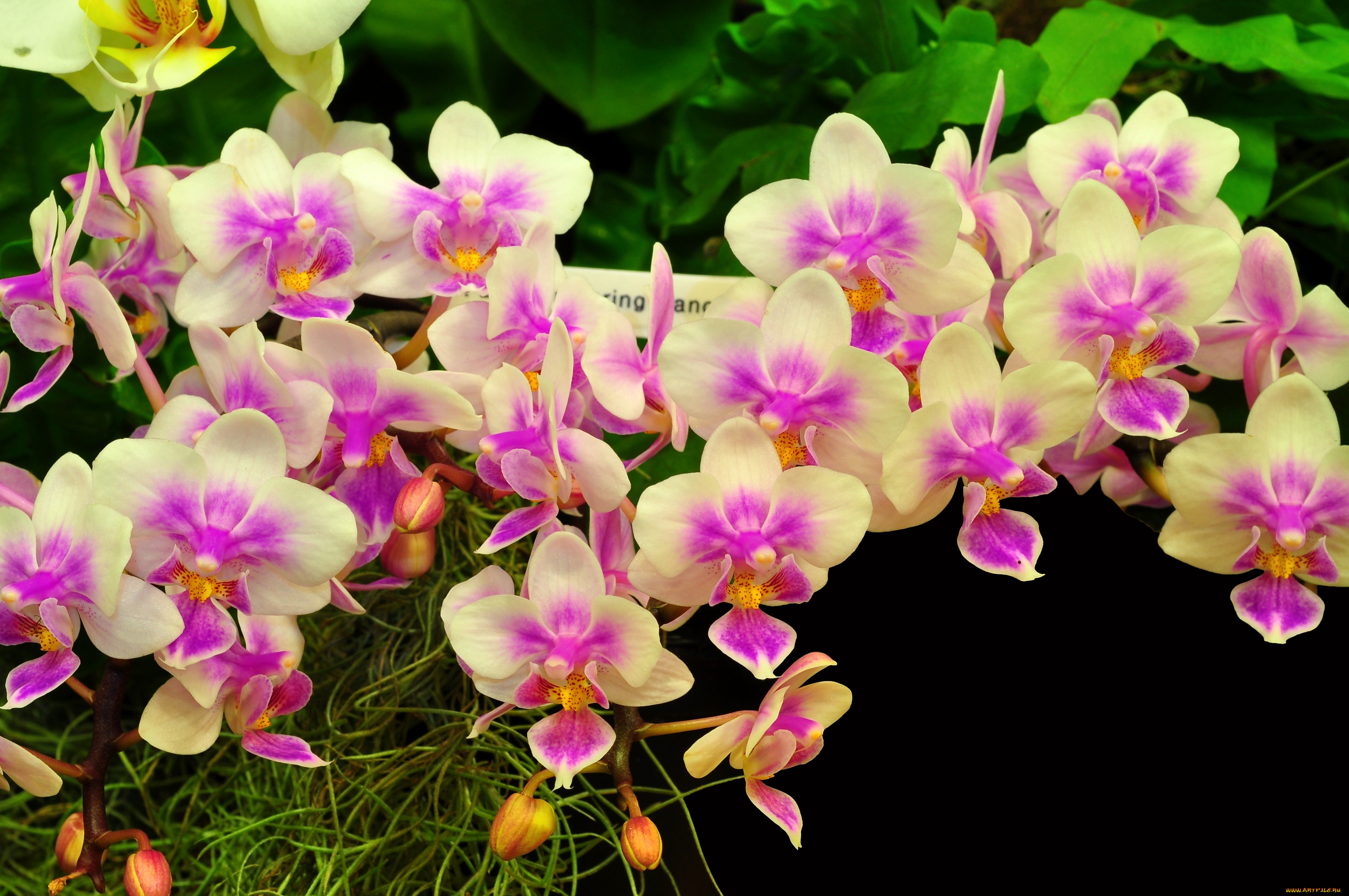 красивое фото цветка орхидея иначе зачем
